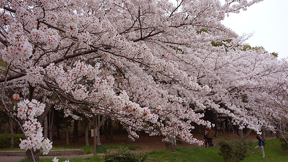 桜02.JPG
